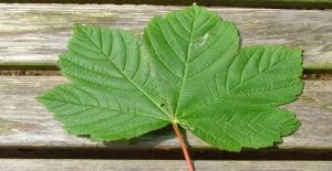 Çınar Yaprağının Sizi Şaşırtacak 12 Faydası