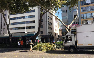 İzmir'de Tramvay Hattıdaki Çınar Ağaçları Bir Bir Devriliyor
