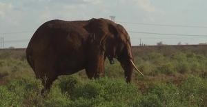 Kenya'da Altgeçitler Fillere Göre Yapılıyor