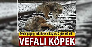Tren çarptığı arkadaşının başında iki gün bekledi! Vefalı Köpek
